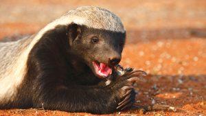 The Honey Badger Quiz