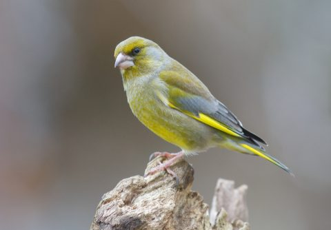 A UK Bird Recognition Quiz – Finches
