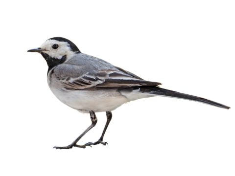 A UK Bird Recognition Quiz – Pipits and Wagtails