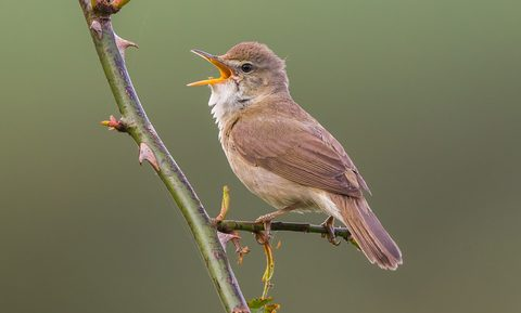 A UK Bird Recognition Quiz – Warblers