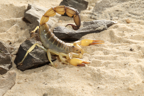 Fat tailed scorpion