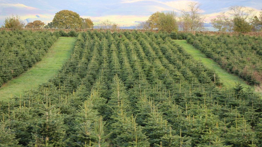 Select and Collect Christmas Trees in Penrith